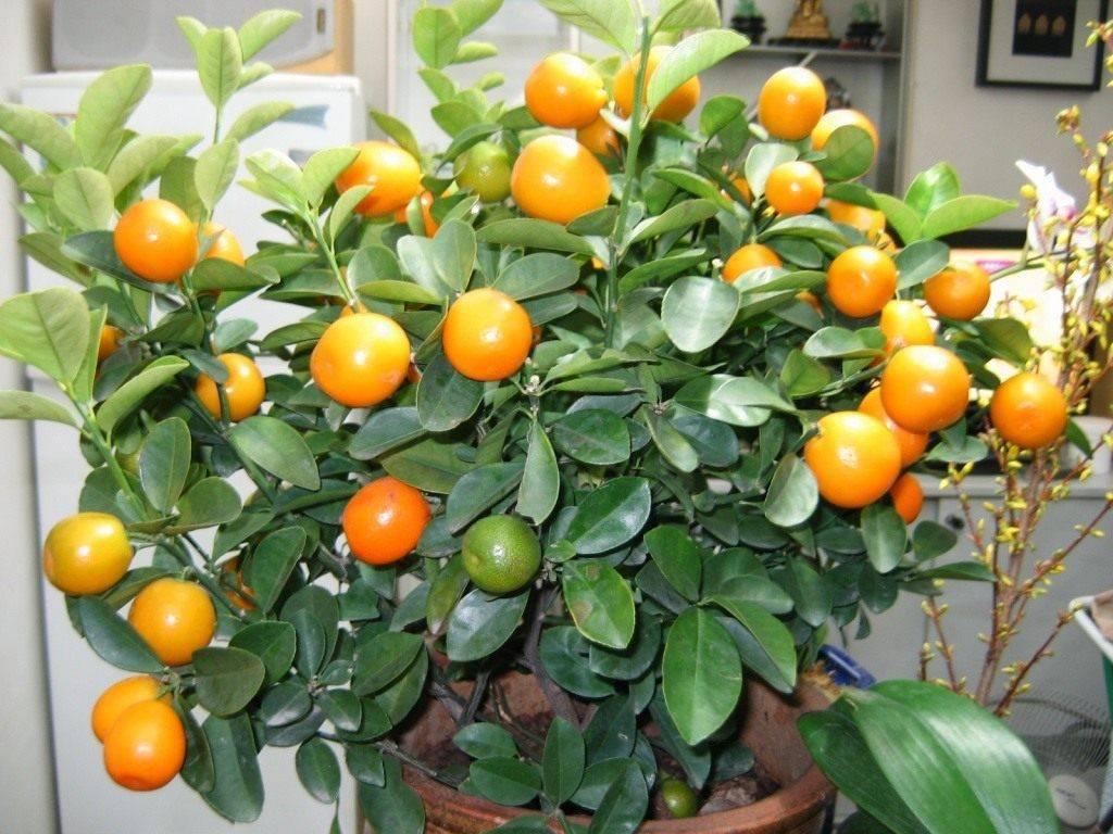 Цитрусовые домашние растения и уход за ними в домашних условиях. описание