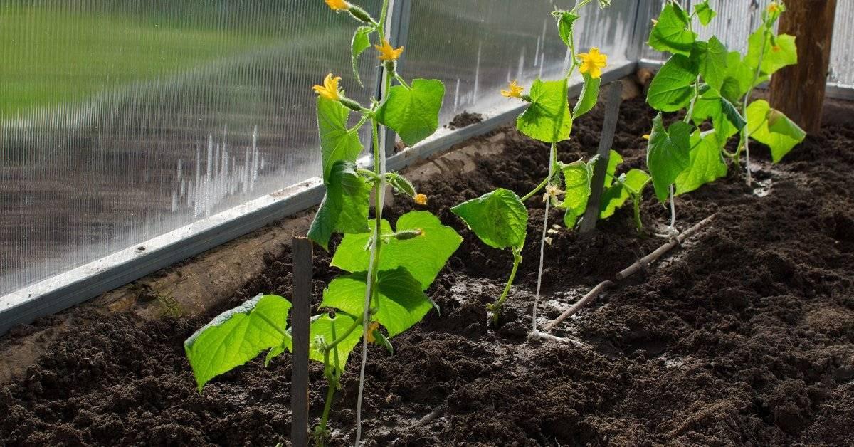 Разновидности агапантуса и особенности выращивания цветка в открытом грунте