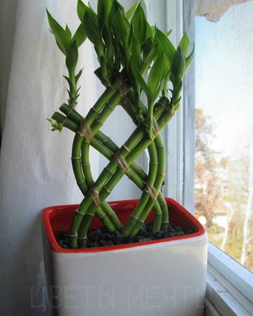 Растение бамбук: посадка и уход в открытом грунте, фото, выращивание и размножение