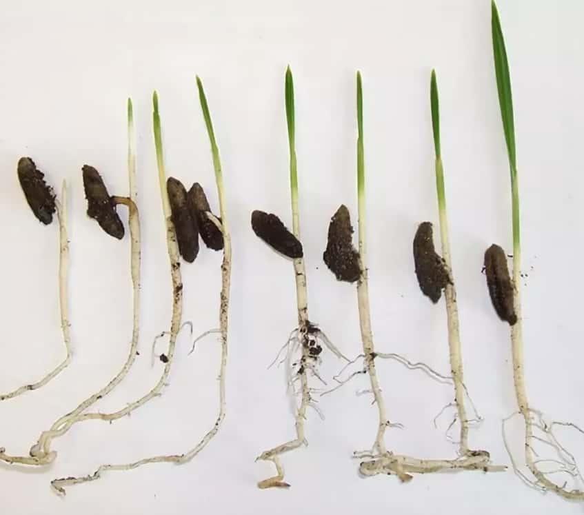 Экзотическая финиковая пальма из косточки: как вырастить финик из косточки