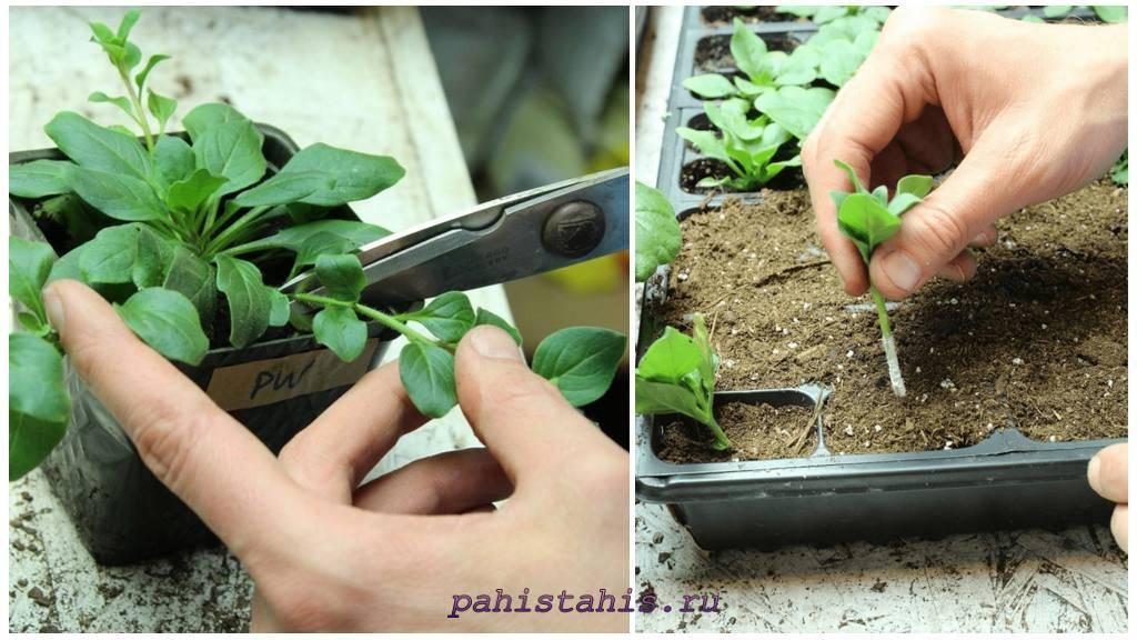 Черенкование петуний: особенности размножения петуний черенками зимой и осенью в домашних условиях. как правильно вырастить и укоренить цветы после обрезки?
