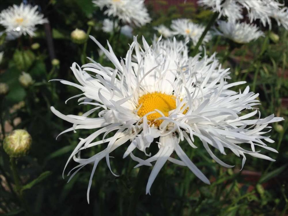 Нивяник (леукантемум) обыкновенный, наибольший, махровый: выращивание из семян, посадка и уход