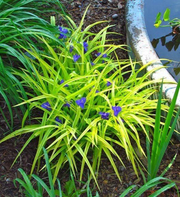 Посадка цветка традесканция садовая и уход за ним – фото растения