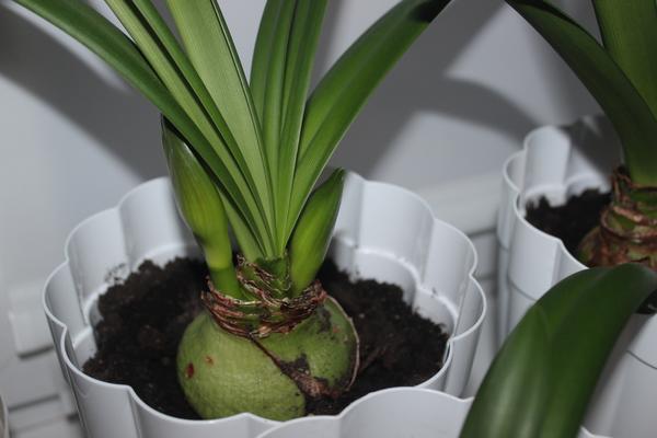 Гиппеаструм - уход в домашних условиях и подготовка к цветению, сорта и фото