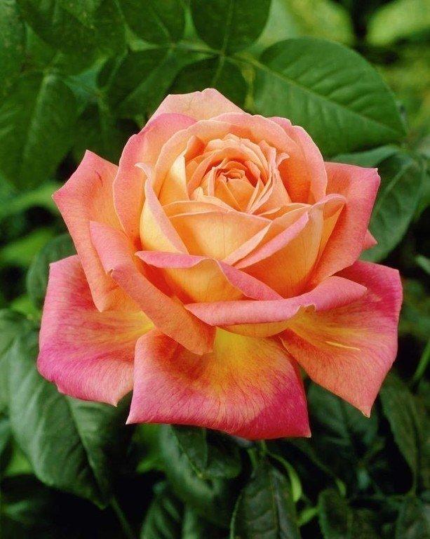 движении сорт розы мадам мейланд фото овощ отделите