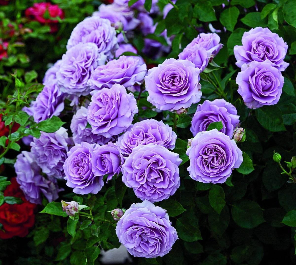 Посадка и уход за канадской парковой розой луиза багнет: агротехника выращивания