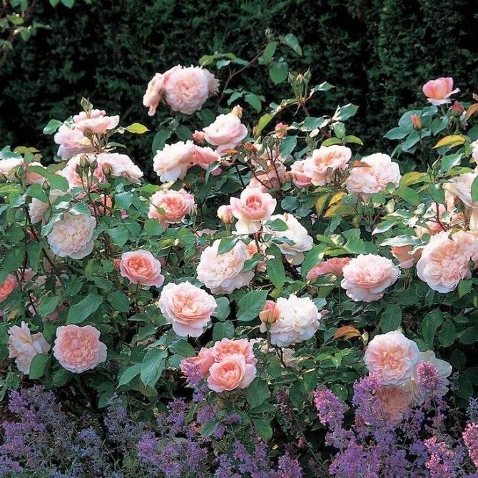 Розы дэвида остина: сорта и описания, отзывы фото