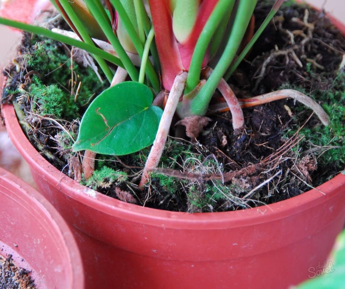 Калатея: выращивание, виды и сорта