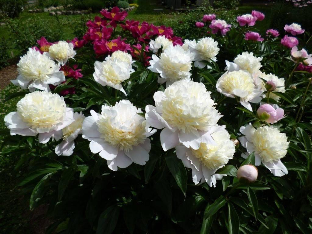 Описание уайт и ред — молочноцветковых травянистых сортов пионов сара бернар
