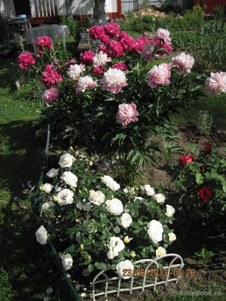 Роза нью даун (new dawn) — отличительные черты сорта