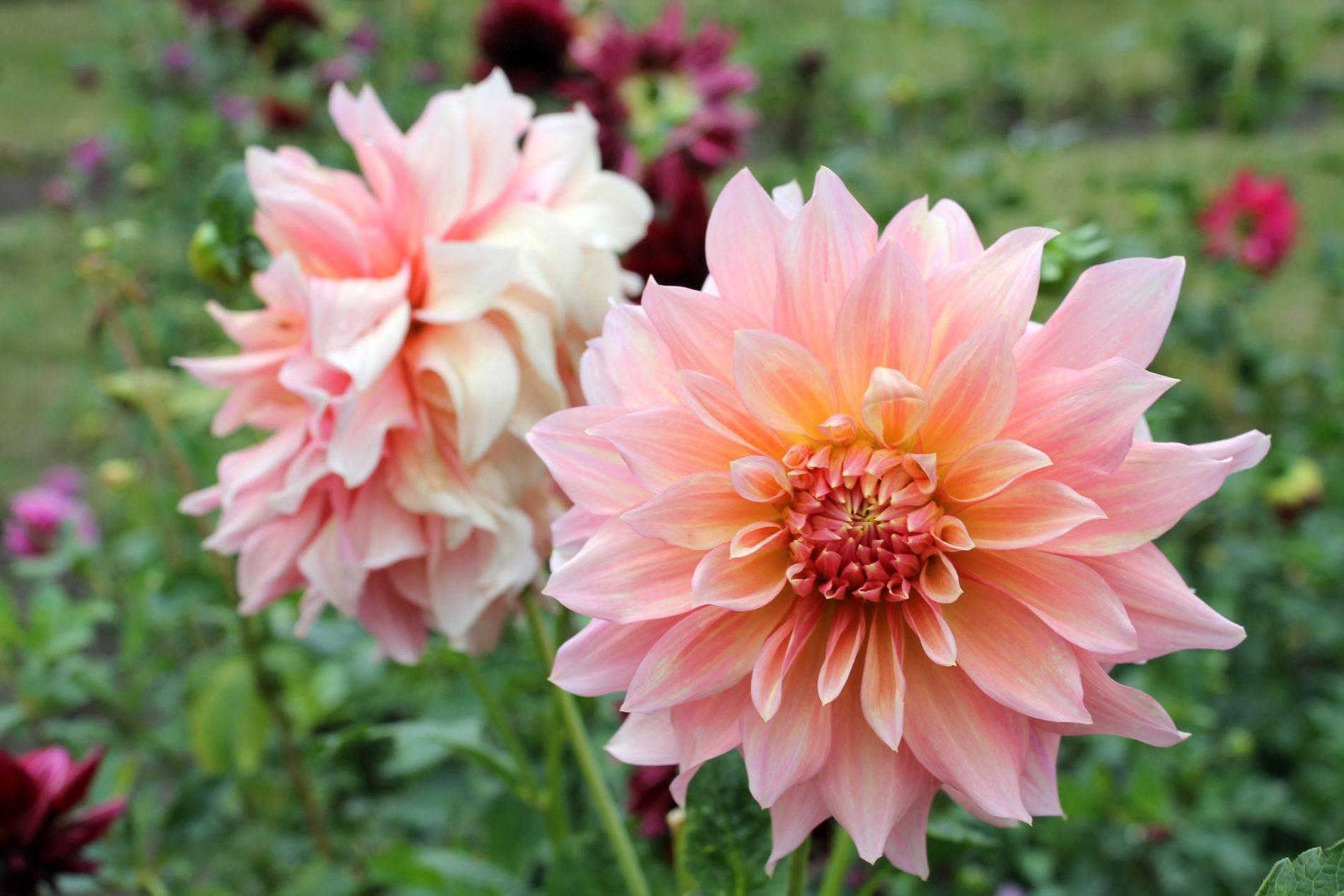 Чем подкормить георгины для обильного цветения: секреты, виды удобрений, как вносить