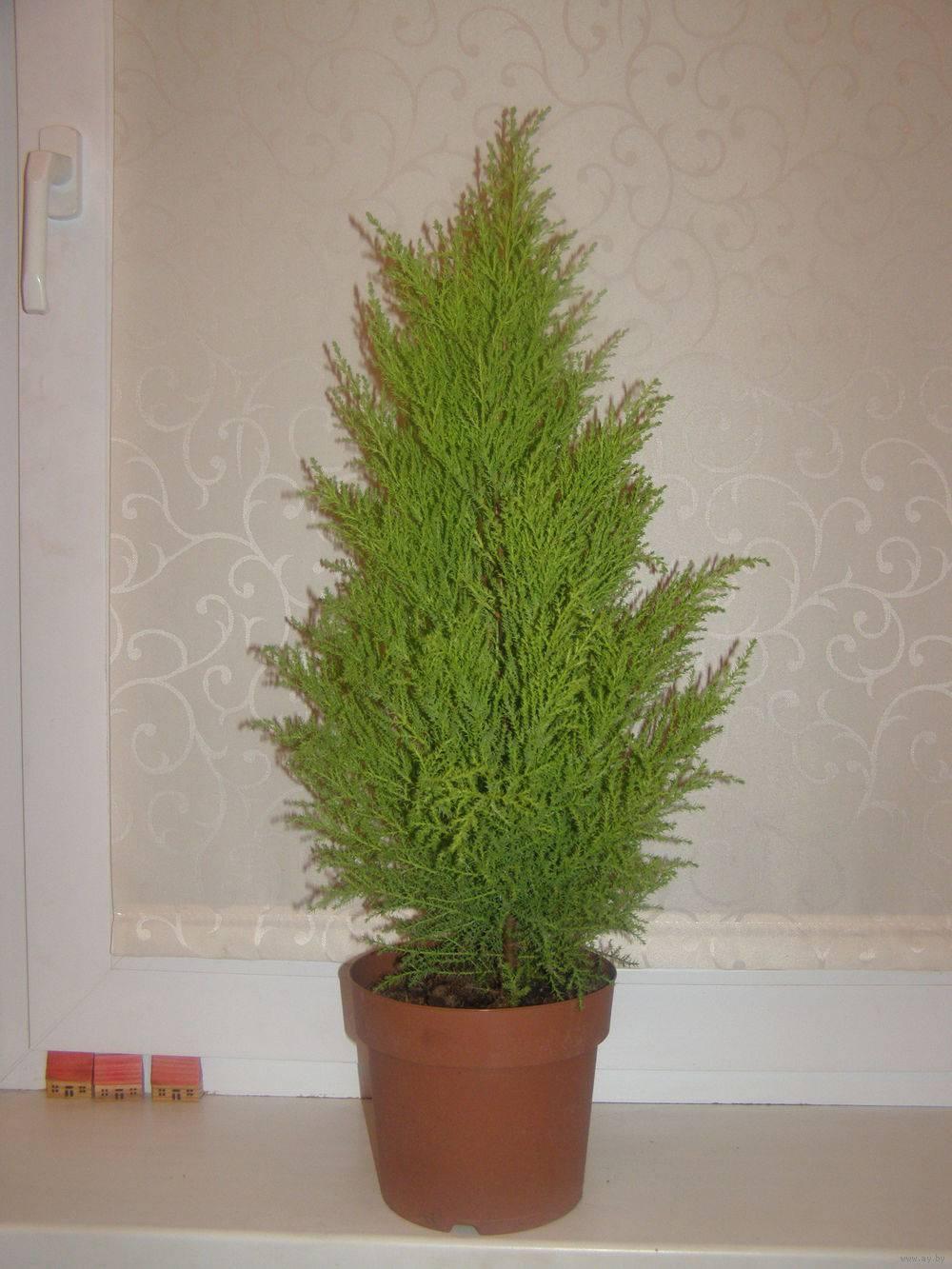 Вечно зеленый кипарисник (хамаекипарисовик) – секреты ухода в домашних условиях за комнатным кипарисом