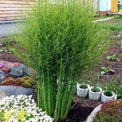 Технология выращивания спаржи в открытом грунте и домашних условиях