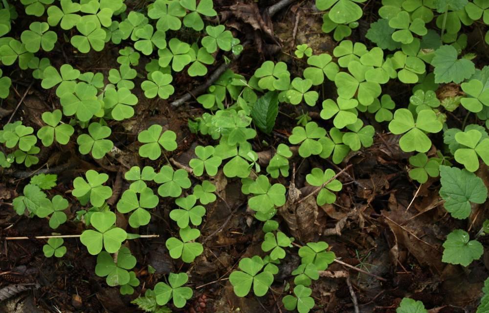 Комнатное растение кислица (с фото)