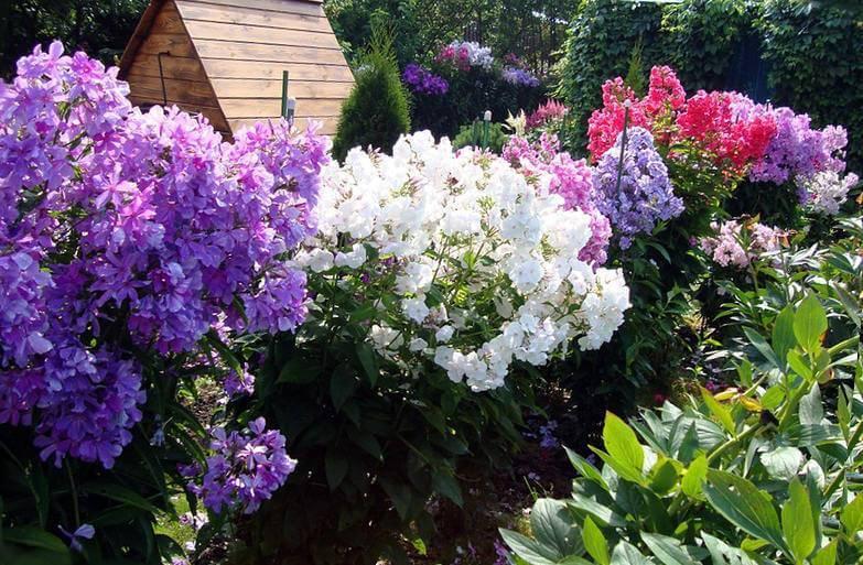 Посадка флоксов весной в открытый грунт: сроки и инструкция