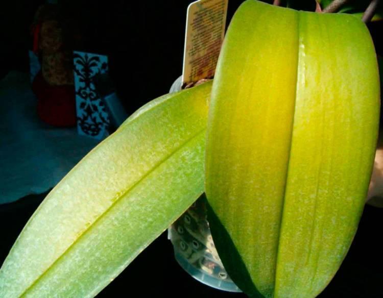 Почему желтеют листья у орхидеи: 6 причин