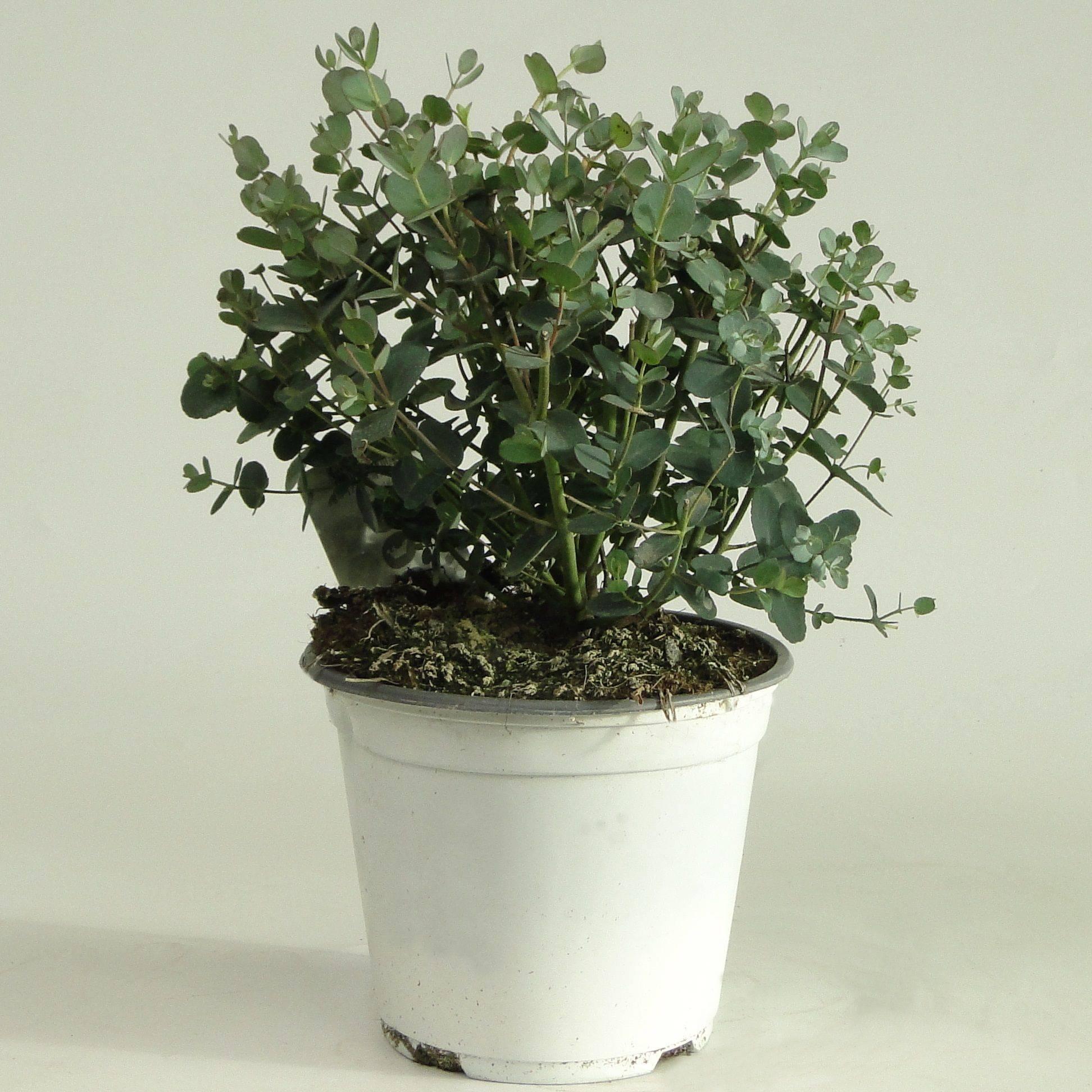 Комнатное растение эвкалипт: домашний уход, размножение в квартире и полезные свойства