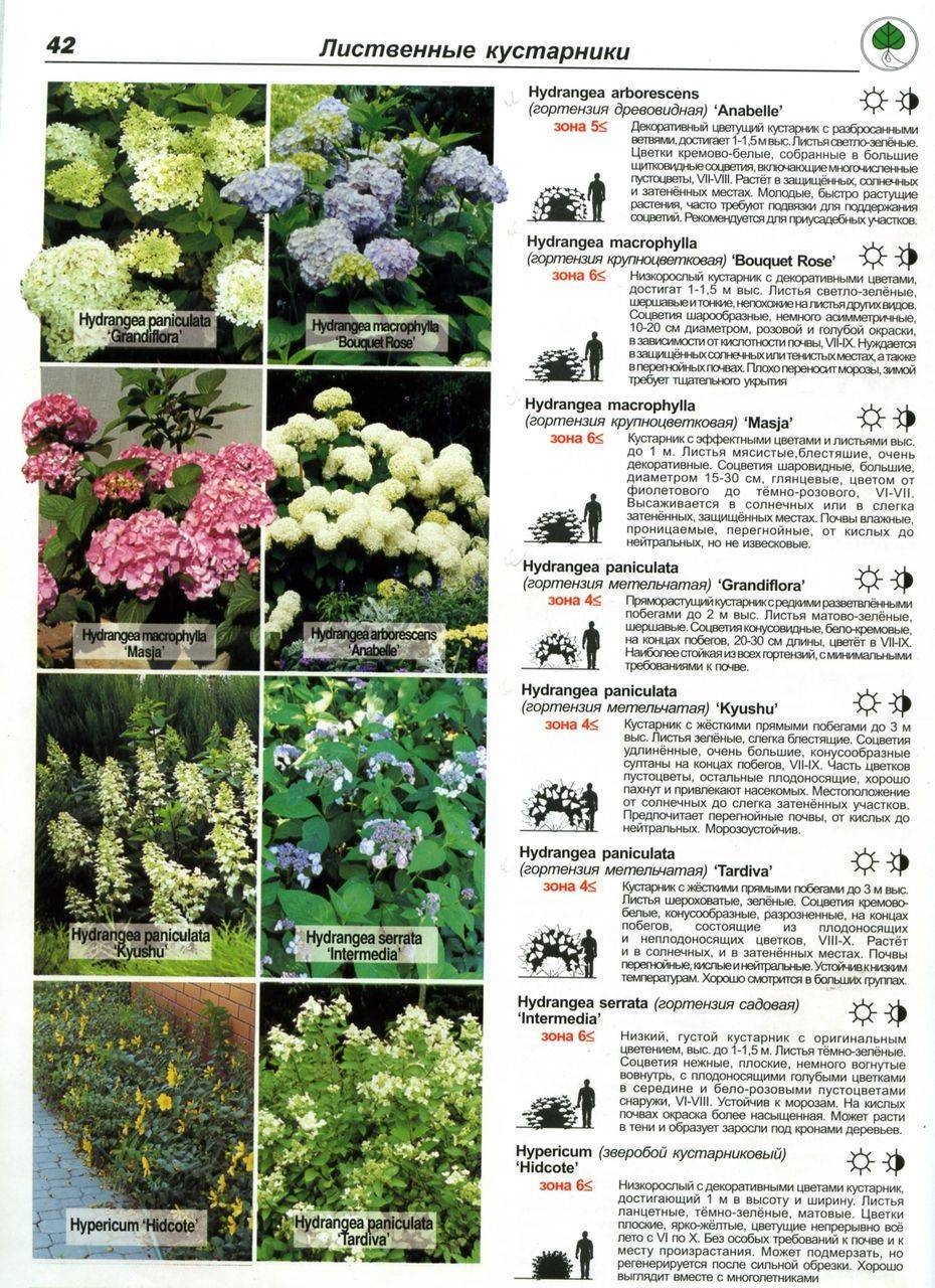 Гортензия: разновидности, выращивание, размножение