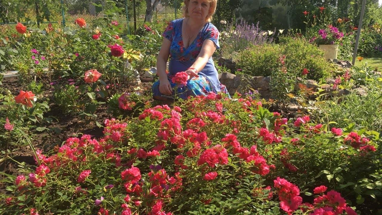 Особенности выращивания почвопокровной розы хеллоу: как посадить и ухаживать