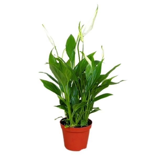 Спатифиллум свит чико, сильвио, лауретта и бенито: описание и фото этих сортов, а также особенности ухода за растением в домашних условиях