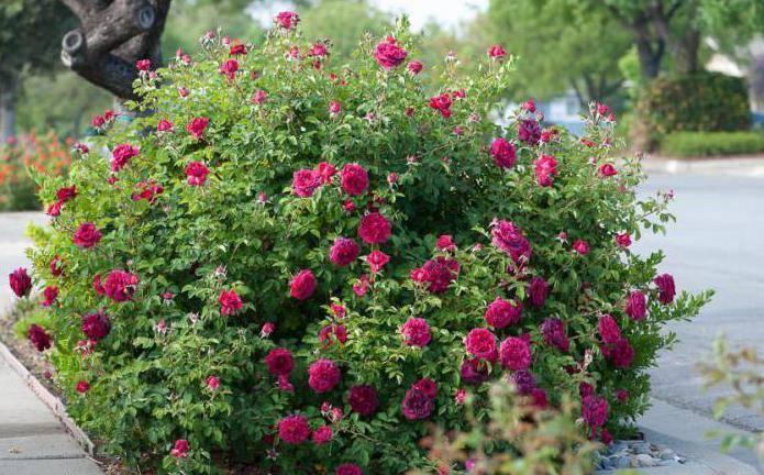Роза вильям шекспир: особенности сорта