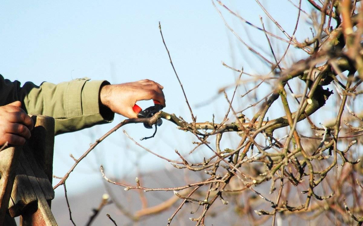 Чем и как замазывать срезы на яблонях?