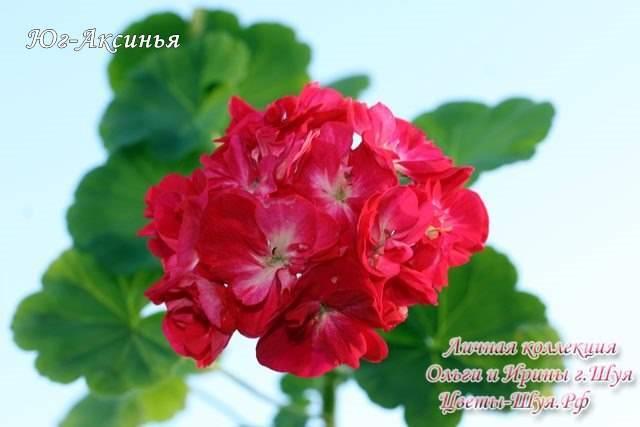Герань тюльпановидная — популярные сорта для дома