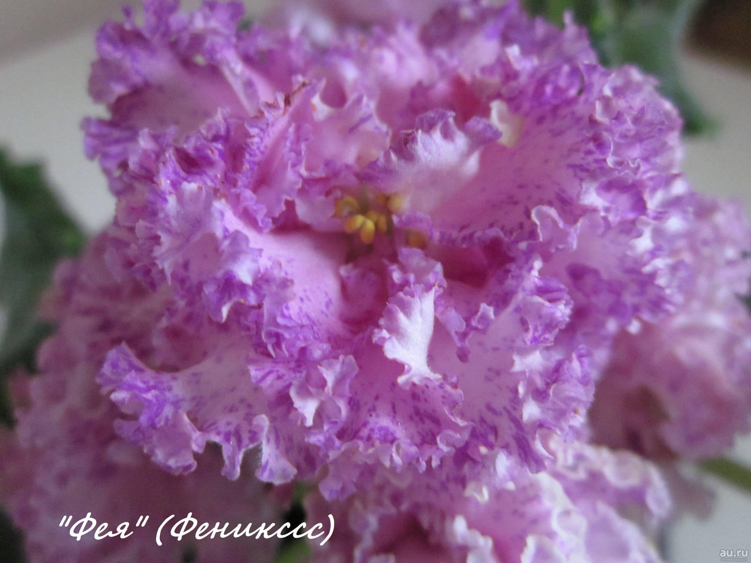 Нежные розовые фиалки — топ-10 самых популярных сортов