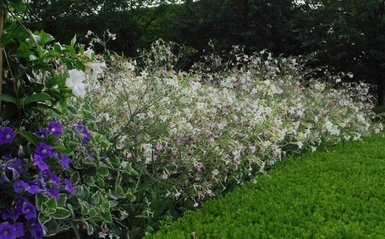 Выращивание душистого табака из семян: посев на рассаду, уход, пикировка, высадка в грунт