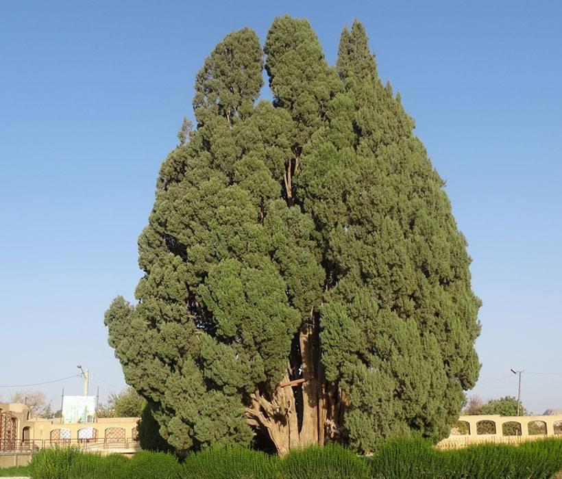 Кипарис (36 фото): что это такое? как ухаживать за деревом? описание кипариса вечнозеленого и других видов. где он растет и как выглядит?