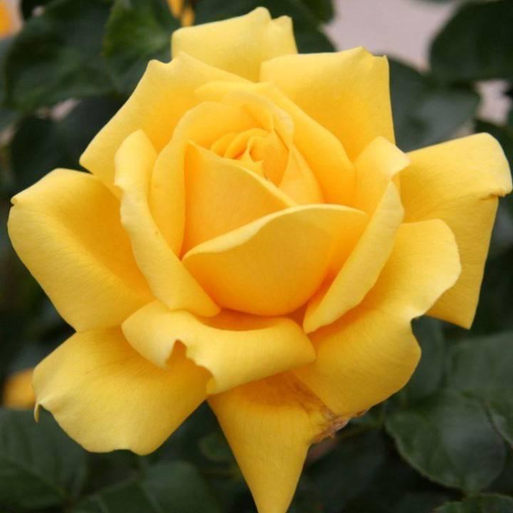 Роза Моника (Monica) — что это за срезочный сорт, описание