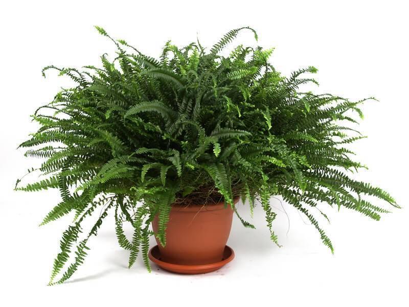 Виды папоротника нефролепис, выращивание в домашних условиях