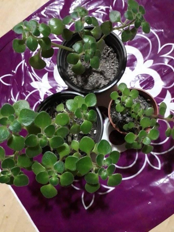 Цветок аихризон: уход и цветение в домашних условиях