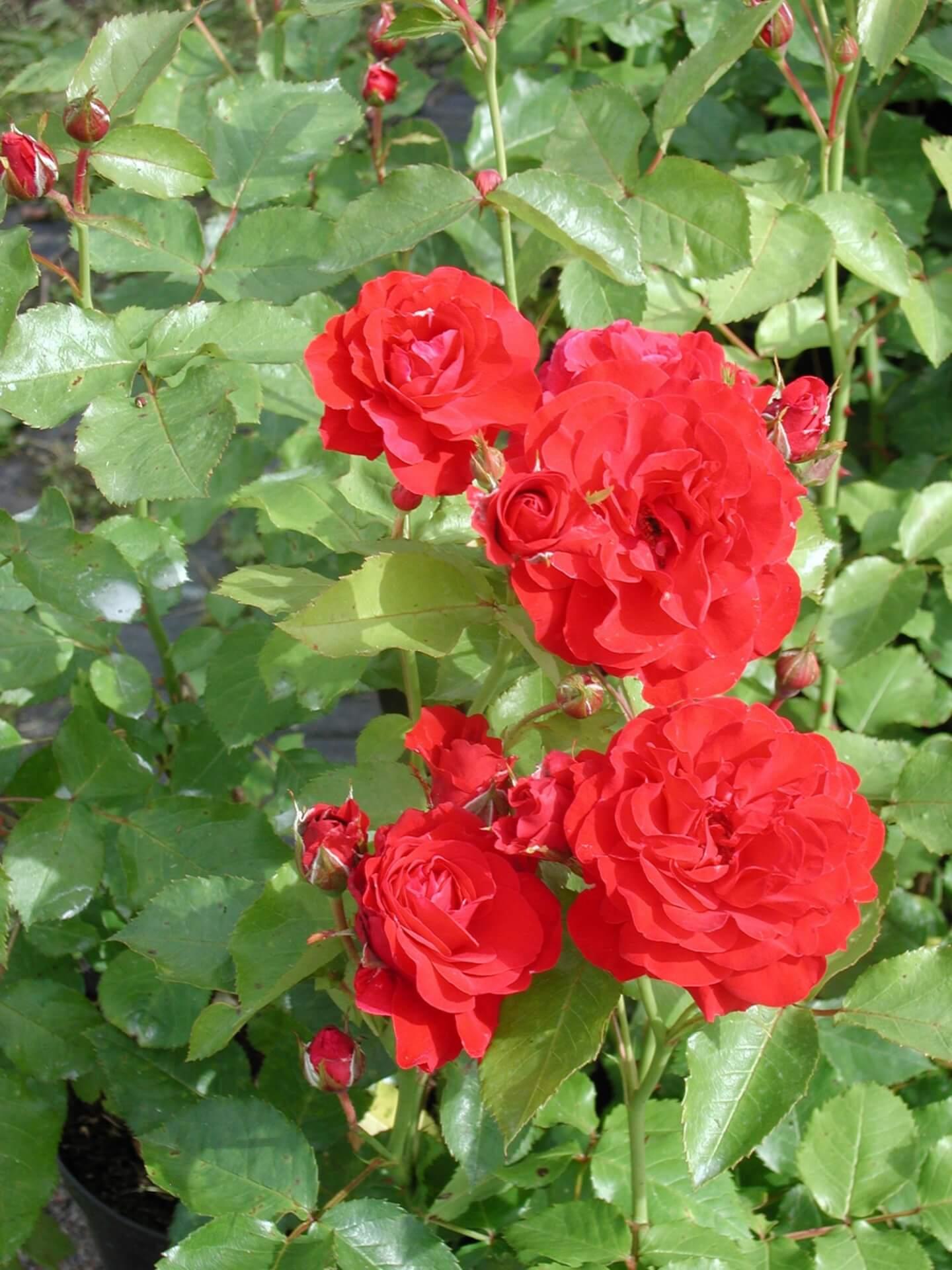 Описание сорта розы хайди клум: плюсы и минусы цветка, как выращивать, уход