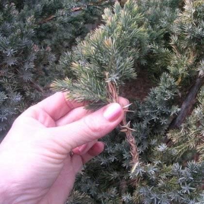 Успешное размножение можжевельника черенкованием: правила и сроки
