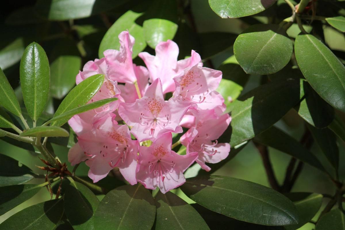 Рододендрон – король верескового сада