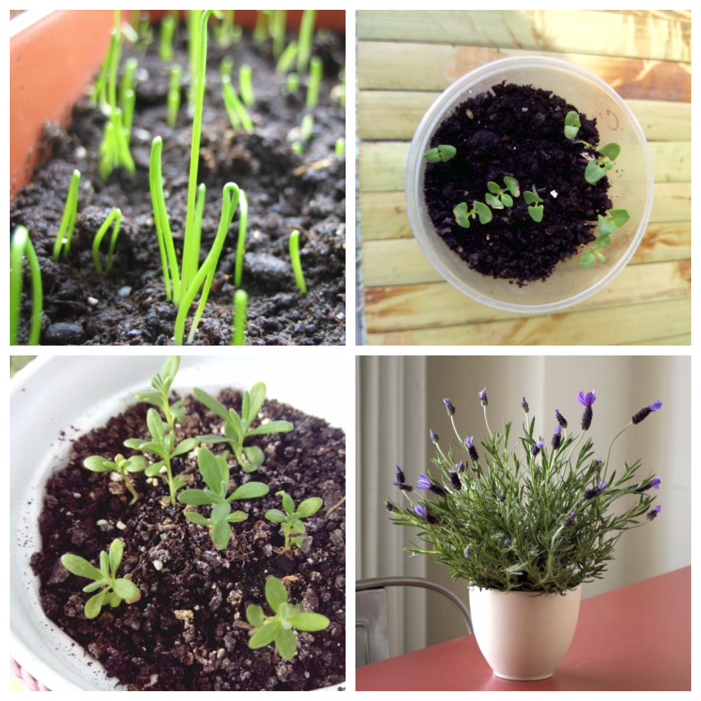 Цветы лаванда: посадка и уход в открытом грунте, фото, выращивание из семян
