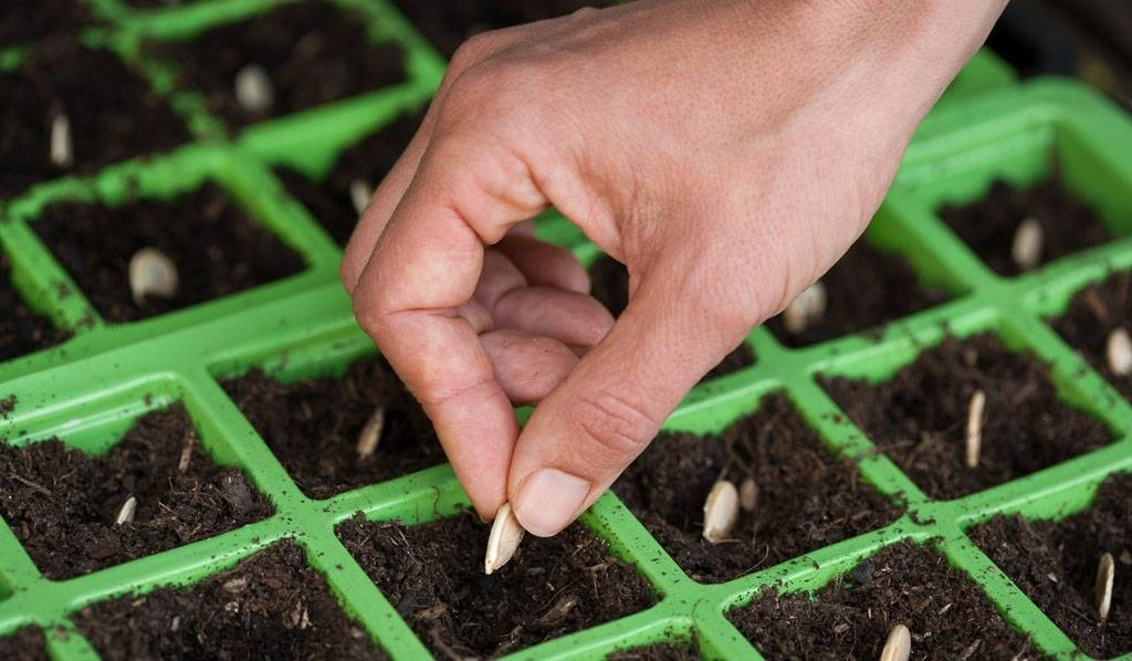 Клеома: выращивание из семян