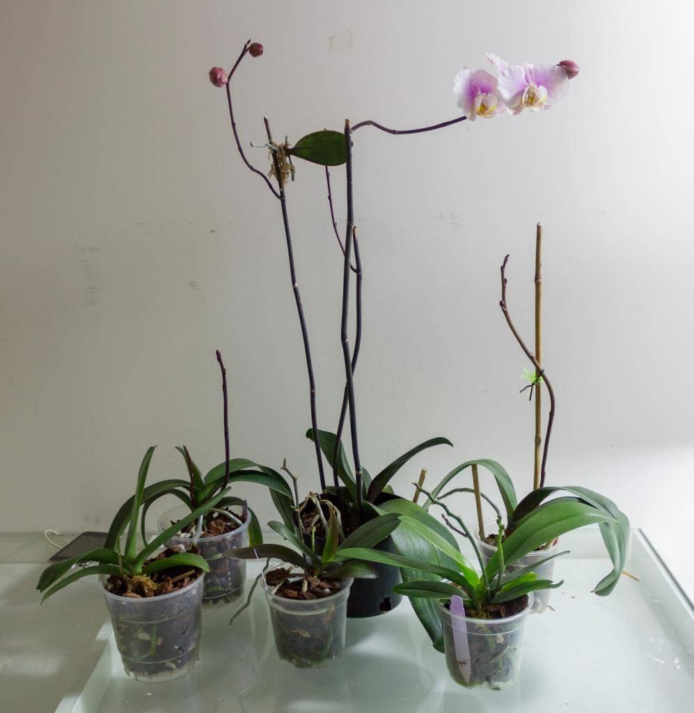 Варианты пересадки орхидеи во время цветения: примеры в домашних условиях