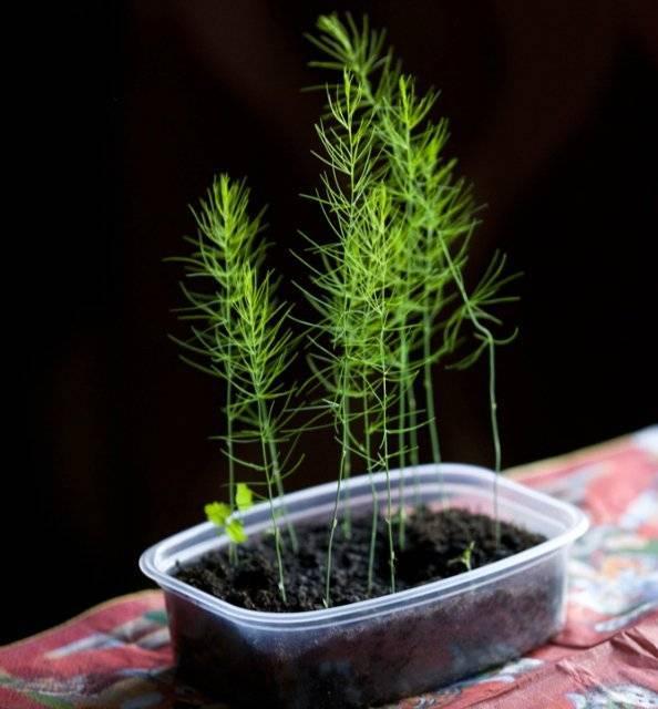 Выращивание аспарагуса шпренгера: как посадить, ухаживать, удобрять, размножать