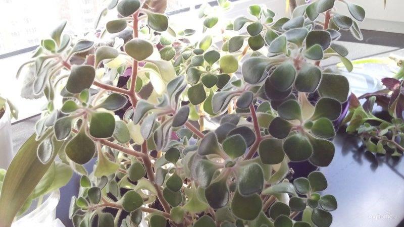 Дерево любви аихризон: описание, уход в домашних условиях