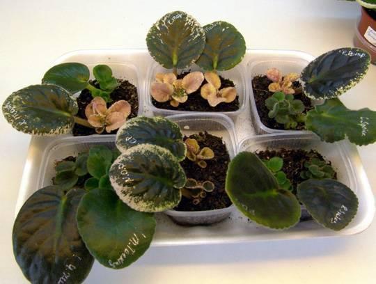Интересные факты про размножение и уход за фиалкой в домашних условиях