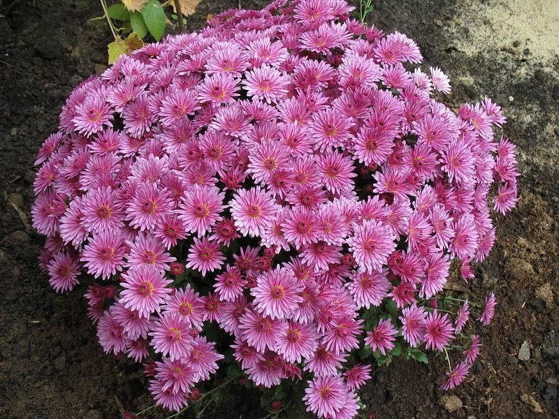 Хризантема кустовая садовая многолетняя: посадка и уход. фото