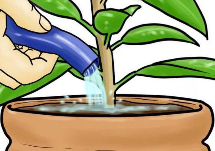 Как часто поливать фикус - правила полива и ухода