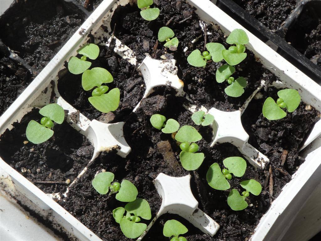 Выращивание базилика из семян: рассадный и безрассадный способы