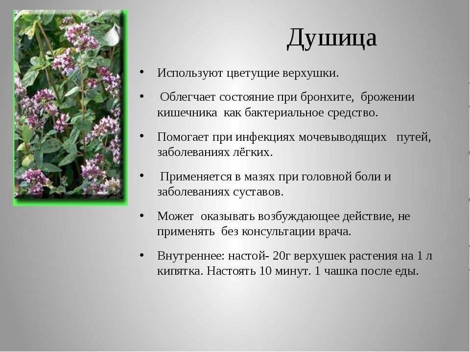 Полное описание вербены: как пахнет, полезные свойства, продолжительность жизни