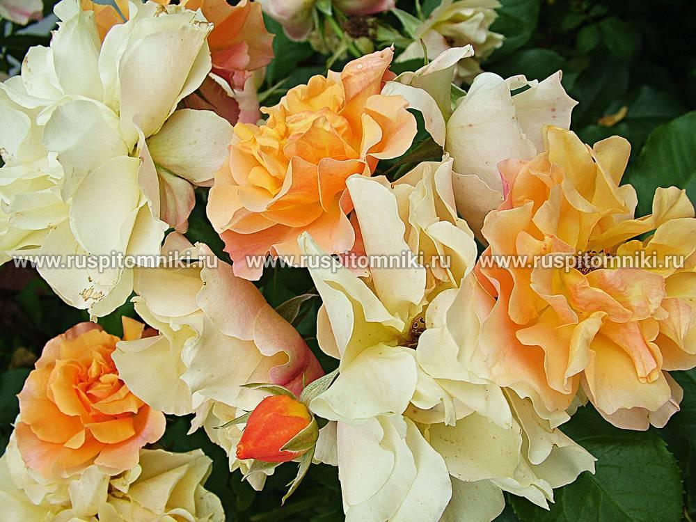 Классификация садовых групп роз | образцовая усадьба