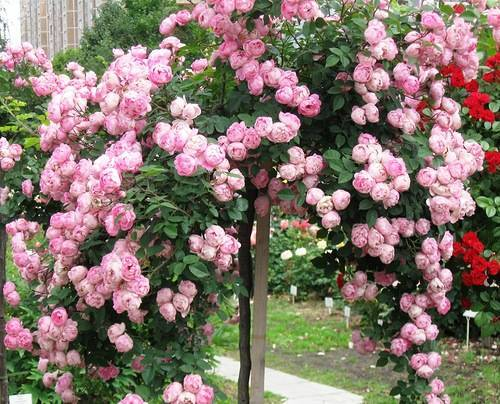 Плетистые розы: посадка и уход в открытом грунте, сорта
