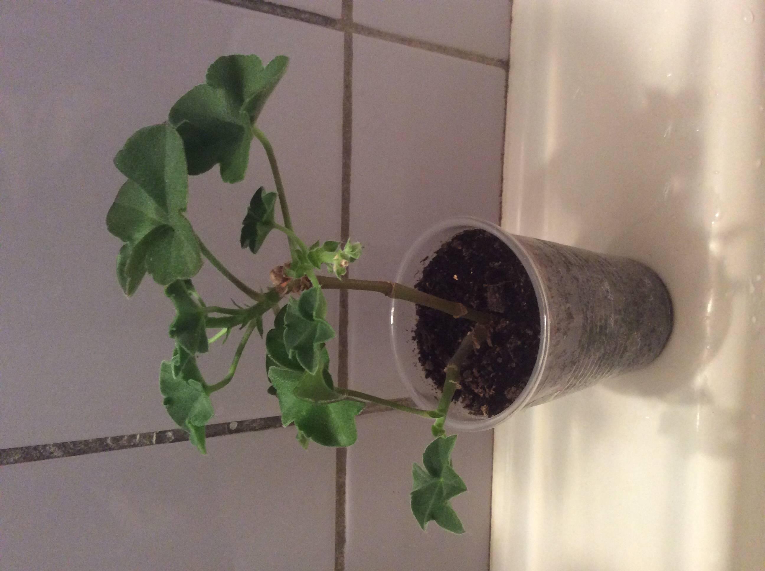 Герань плющелистная: выращивание из семян
