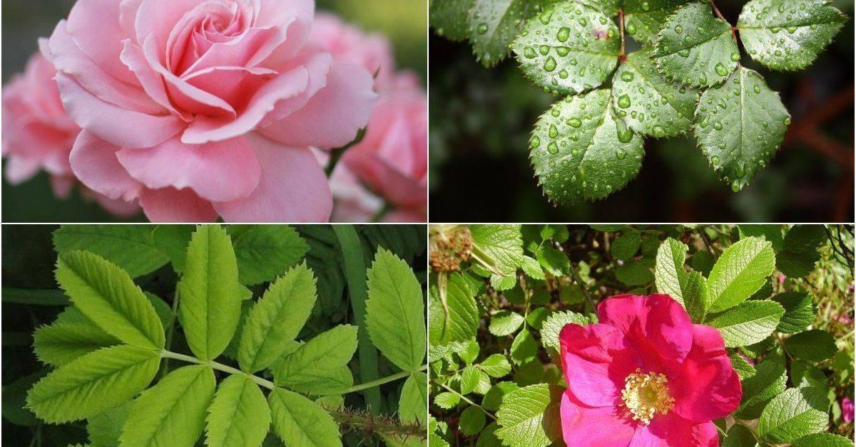 Роза цветет как шиповник что делать. что делать, если роза перерождается в шиповник? почему роза уходит в шиповник